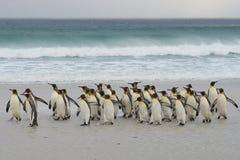 Le Roi Penguins Coming Ashore photographie stock
