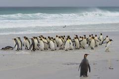 Le Roi Penguins Coming Ashore photos stock