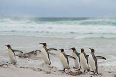 Le Roi Penguins Coming Ashore - Falkland Islands photo stock