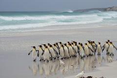 Le Roi Penguins Coming Ashore - Falkland Islands images stock