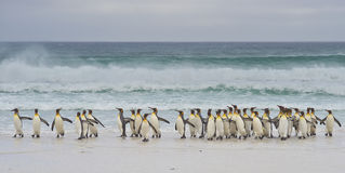 Le Roi Penguins Coming Ashore - Falkland Islands photographie stock libre de droits