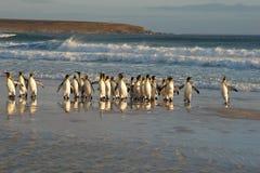 Le Roi Penguins dans le ressac Images stock