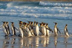 Le Roi Penguins dans le ressac Photos stock