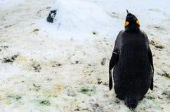 Le Roi Penguins dans le zoo du Japon Photos libres de droits