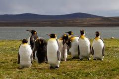Le Roi Penguins de groupe dans la lumière de soirée Photographie stock