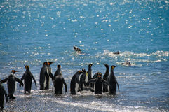 Le Roi Penguins et phoques Photographie stock libre de droits