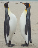 Le Roi Penguins Meet sur Sandy Beach Photo stock
