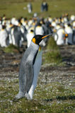 Le Roi Penguins, point volontaire, Falkland Islands Photographie stock