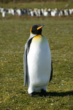 Le Roi Penguins, point volontaire, Falkland Islands Photos libres de droits