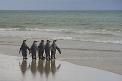Le Roi Penguins se dirigeant à la mer sur l'île de Saunders Image libre de droits