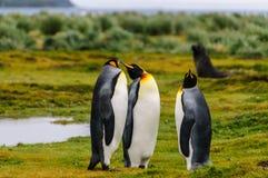 Le Roi Penguins sur des plaines de Salisbury images libres de droits