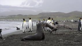 Le Roi Penguins sur la plage banque de vidéos