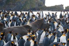 Le Roi Penguins sur le port d'or Photographie stock