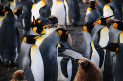 Le Roi Penguins sur le port d'or Photo stock