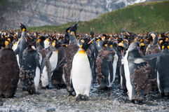 Le Roi Penguins sur le port d'or Photos libres de droits