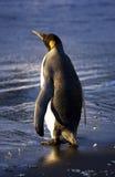Le Roi pingouin photo stock