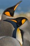 Le Roi pingouins Image stock