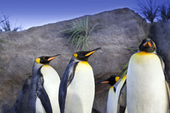Le Roi pingouins Photographie stock