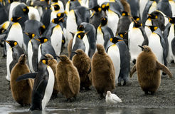 Le Roi pingouins au bord de l'eau Photographie stock libre de droits