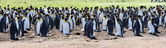Le Roi pingouins au point volontaire Photo libre de droits