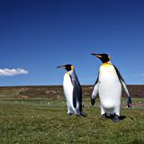 Le Roi pingouins au point volontaire Photo stock