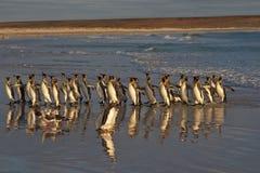 Le Roi pingouins au point volontaire Images stock