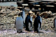 Le Roi pingouins dans Grytviken Images stock