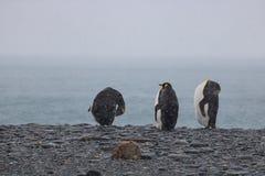 Le Roi pingouins, la Géorgie du sud Photos libres de droits
