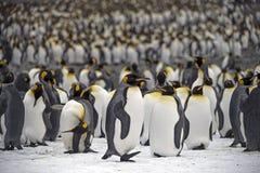 Le Roi pingouins, la Géorgie du sud Photo stock