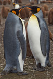 Le Roi pingouins - Malouines Photos stock