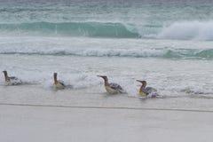 Le Roi pingouins - Malouines Image stock