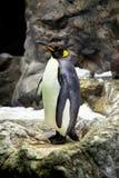 Le Roi pingouins sur la côte en pierre Photographie stock libre de droits