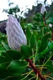 Le Roi Protea, fleur de ressortissant du ` s de l'Afrique du Sud image libre de droits
