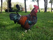 Le Roi Rooster Photos stock