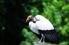 Le Roi vautour photographie stock