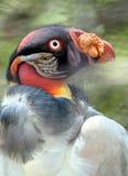 Le Roi vautour photos stock
