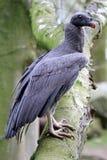 Le Roi Vulture images stock
