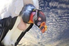 Le Roi Vulture Peers Below comme ensembles de Sun photos stock