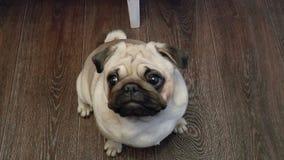 Le roquet de chien regardant dans l'appareil-photo banque de vidéos
