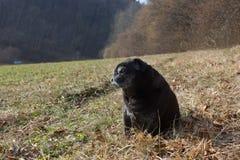le roquet essuie Adelheid appelé faisant le soleil d'hiver détendant sur un champ photos stock
