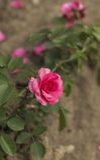 Le rose fotografia stock libera da diritti
