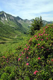 Le rose alpine Fotografia Stock Libera da Diritti