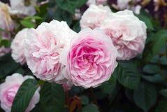 Le rose anglais Olivia d'arbuste a mont? Austin dans le jardin photos stock