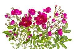 Le rose bourgeonne le buisson d'isolement floral images libres de droits