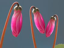 Le rose cyclamen des bourgeons Photo stock