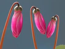 Le rose cyclamen des bourgeons photo stock