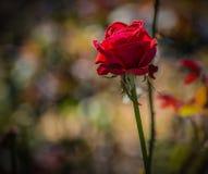 Le rose défraîchi a monté Image stock
