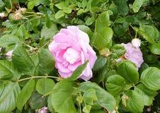 Le rose de Bush a monté en été image stock