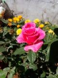 Le rose de jardin ensoleillé a monté photo libre de droits