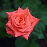 le rose de jardin a monté Photographie stock